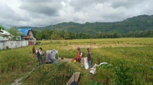 Produksi Padi Sulbar Turun di 2019, Kabupaten Mamuju-Mateng Naik