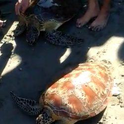 Terjaring Pukat Nelayan, 30 Ekor Penyu Dilepas ke Laut