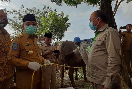 Warga Pasangkayu Terima Bantuan Sapi Kurban dari Jokowi